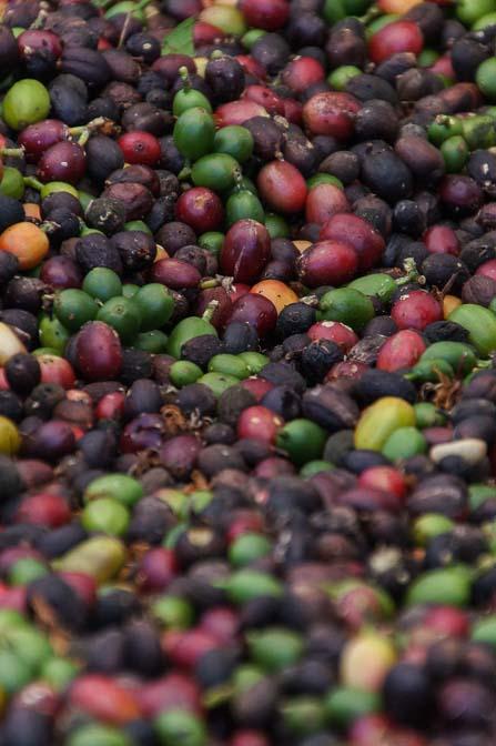 freshly picked kona coffee beans