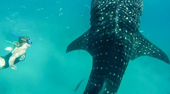 laura swimming with whale sharks