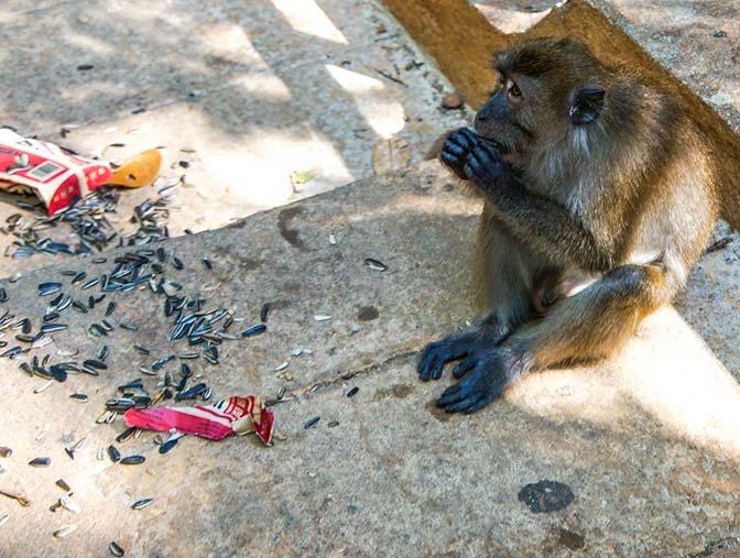 Monkey stole and now enjoying sunflower seeds.