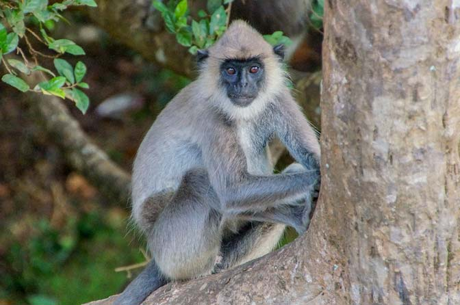 Lovely monkey near Sigiriya entrance.