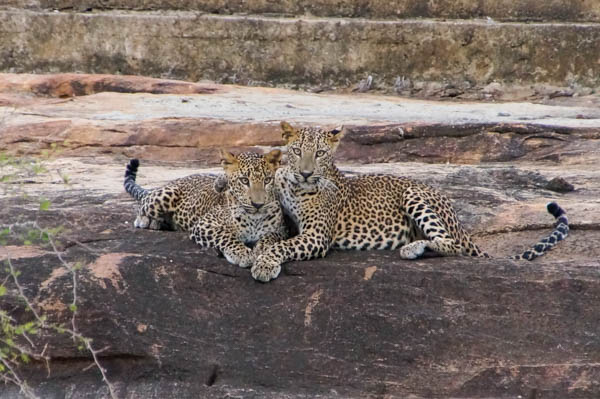 Young leopards playing so close to our vehicle.