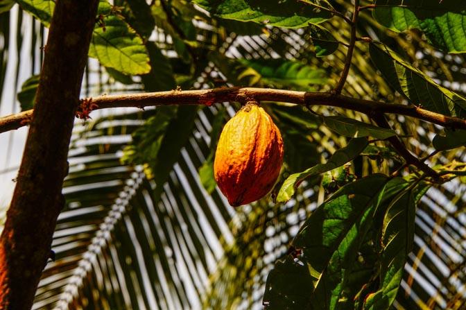 Cocoa bean fruit.