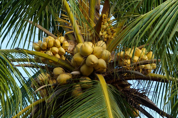 Fresh, amazing coconuts.